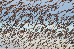 Greater Sandhill Cranes in flight over the San Luis Valley. The annual Monte Vista Crane Festival takes place during March each year. Photo credit: Colorado Parks and Wildlife