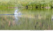 A beaver slap on the upper Colorado River. Photo credit: Brent Gardner-Smith/Aspen Journalism