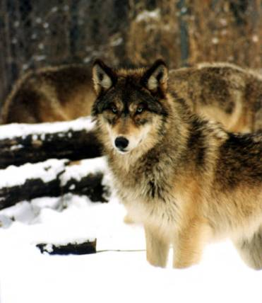 Grey Wolf. Photo credit: USFWS via CPW