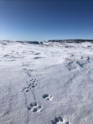 A trail of wolf tracks observed by Colorado Parks and Wildlife officers in Northwest Colorado on January 19, 2020. Photo credit: Colorado Parks & Wildlife